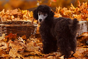 Miniature Poodle, silver coated puppy aged 13 weeks, standing in autumn leaves - Petra Wegner