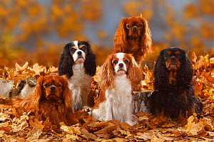Five Cavalier King Charles Spaniel sitting, black-and-tan, tricolour, blenheim and ruby coated, sitting in autumn leaves  -  Petra Wegner