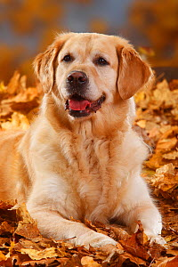 Golden Retriever head portrait, lying in autumn leaves, panting - Petra Wegner