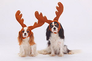Two Cavalier King Charles Spaniels, blenheim and tricolour coated, sitting wearing reindeer antlers  -  Petra Wegner