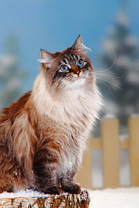 Neva Masquarade / Siberian Forest Cat, portrait of seal-tabby-point coated tomcat, sitting on log in snow, with picket fence behind - Petra Wegner