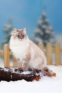 Neva Masquarade / Siberian Forest Cat, blue-silver-tabby-point coated, sitting on log in snow, with picket fence behind - Petra Wegner
