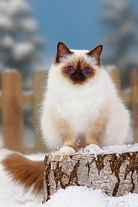Sacred Cat of Burma / Birman, chocolate-point coated, portrait sitting on log in snow, with picket fence behind - Petra Wegner
