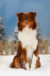 Australian Shepherd, red-tri coated, portrait sitting in snow, with picket fence behind  -  Petra Wegner