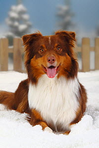 Australian Shepherd, red-tri coated, portrait lying in snow panting, with picket fence behind  -  Petra Wegner