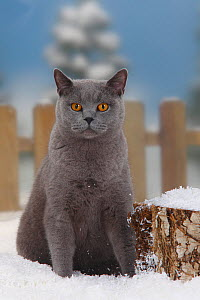 British Shorthair Cat, blue coated tomcat, sitting in snow, with picket fence behind - Petra Wegner