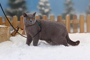 British Shorthair Cat, blue coated tomcat with harness and leash, walking in snow, with picket fence behind - Petra Wegner