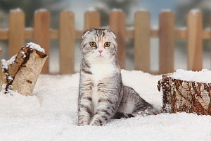 Scottish Fold cat, tabby short haired, portrait sitting in snow with picket fence behind - Petra Wegner