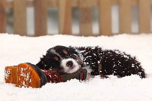 Australian Shepherd, black-tri coated puppy, aged 6 weeks, sleeping on old boot in snow, with picket fence behind  -  Petra Wegner