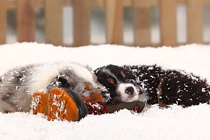 Australian Shepherd, black-tri, and blue merle coated puppies, aged 6 weeks, sleeping together on old boot in snow, with picket fence behind  -  Petra Wegner