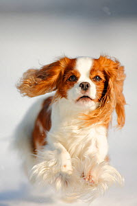 Cavalier King Charles Spaniel, blenheim coated, running over snow covered ground  -  Petra Wegner