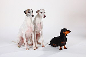 Smooth haired Dachshund, black and tan sitting with two white Whippets - Petra Wegner