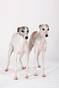 Two white Whippets, double portrait standing - Petra Wegner