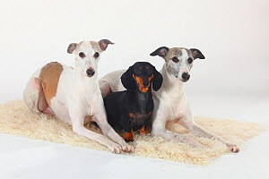 Smooth haired Dachshund and two Whippets, white and tan, group portrait lying on cream rug - Petra Wegner