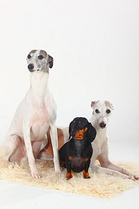 Smooth haired Dachshund and two Whippets, white and tan, group portrait sitting on cream rug - Petra Wegner