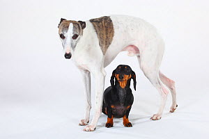 Smooth haired Dachshund, black and tan, with with Whippet standing over  -  Petra Wegner
