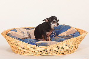 Chihuahua, smooth haired, sitting in large dog basket  -  Petra Wegner