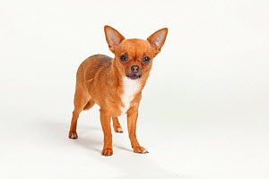 Chihuahua, smooth haired, portrait standing  -  Petra Wegner
