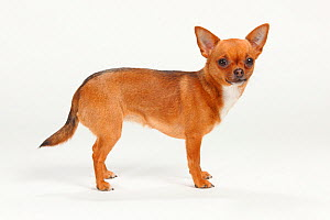 Chihuahua, smooth haired, portrait standing in show-stack posture  -  Petra Wegner