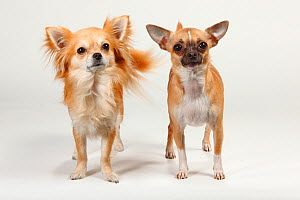 Two Chihuahuas, smooth haired and long haired, standing together  -  Petra Wegner