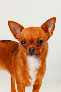 Chihuahua, smooth haired, head portrait standing  -  Petra Wegner