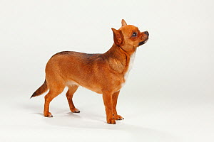 Chihuahua, smooth haired, standing in show-stack posture  -  Petra Wegner