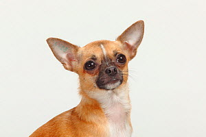 Chihuahua, smooth haired, head portrait sitting  -  Petra Wegner