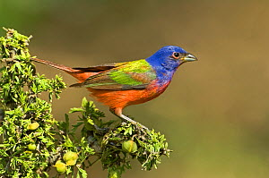 Painted Bunting (Passerina ciris) male perched on branch, Rio Grande Valley, Texas, USA, June  -  David Welling