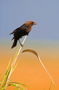 Brown-headed Cowbird (Molothrus ater) male perched on Cattail, Anahuac National Wildlife Refuge, Texas, USA, June  -  David Welling