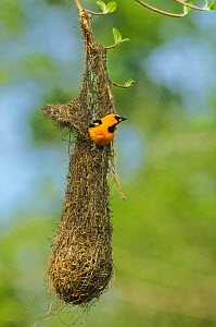 Altimara Oriole (Icterus gularis) adult at nest, Tamaulipas State, Mexico, Central America, May - David Welling