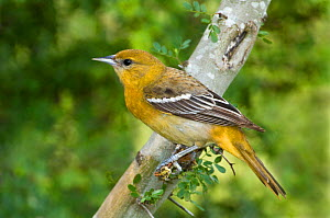 Baltimore / Northern Oriole (Icterus galbula) first spring female, South Padre Island, Texas, USA, May  -  David Welling