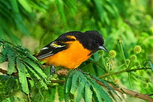 Baltimore / Northern Oriole (Icterus galbula) male perched on tree branch, South Padre Island, Texas, USA, April  -  David Welling