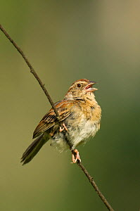 Bachman's Sparrow (Aimophila aestivalis) male perched on woody stem, and calling, Angelina National Forest, Jasper County, Texas, USA, June - David Welling