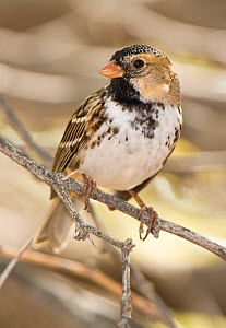 Harris's Sparrow (Zonotrichia querula) male in winter plumage, Salton Sea National Wildlife Refuge, California, USA, May  -  David Welling