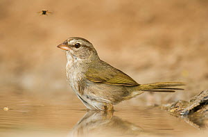 Olive Sparrow (Arremonops rufivirgatus) bathing in small pond, Star County, Texas, USA, May  -  David Welling