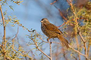 Song Sparrow (Melospiza / Zonotrichia melodia) perched on branch, Northern Miojave Desert, California, USA, May  -  David Welling