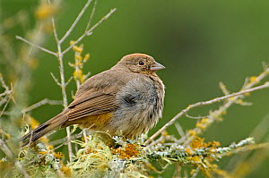 Canyon / Brown Towhee (Pyrgisoma fuscum) Perched in Lichen covered bush, Texas Hill Country, Texas, USA, April  -  David Welling