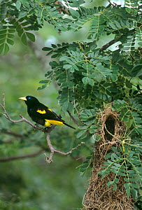 Yellow Rumped Cacique (Cacicus cela) perching on a branch next to its woven nest in the tropical rainforest of llanos, Venezuela, South America  Not available for ringtone/wallpaper use.  -  David Welling