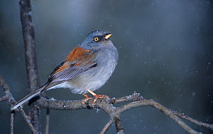 Yellow-eyed Junco (Junco phaeonotus) perched on branch in snowstorm, Southern Arizona, USA - David Welling