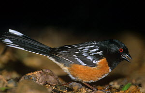 Spotted Towhee (Pipilo maculatus) male feeding on seeds in madera canyon, Arizona, USA  -  David Welling