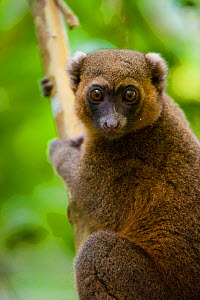Golden bamboo lemur (Hapalemur aureus), Critically endangered, Ranomafana National Park, East Madagascar. - Inaki Relanzon