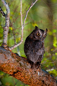 Madagascar scops owl (Otus rutilus) perched, looking backwards, Berenty Private Reserve, South Madagascar.  -  Inaki Relanzon