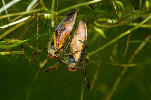 Spotted Backswimmer (Notonecta maculata) on the back of the Common Backswimmer (Notonecta glauca) with Horned Pondweed (Zannichellia palustris) in pond, captive, England.  -  Will Watson
