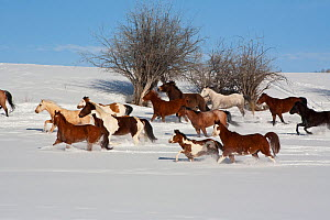 Herd of horses running through winter landscape,  Brush Creek Ranch, Saratoga, Wyoming, USA, February 2010  -  Shattil & Rozinski