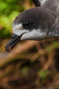 Galapagos / Dark rumped petrel (Pterodroma phaeopygia) Highlands of Santa Cruz Island, Galapagos Islands, Critically endangered species  -  Pete Oxford