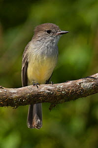 Galapagos / large billed flycatcher (Myiarchus magnirostris) perched, Santiago Island, Galapagos Islands, endemic  -  Pete Oxford