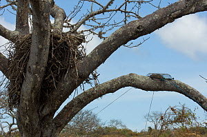 Galapagos hawk (Buteo galapagoensis) nest in tree with Black rats (Rattus rattus) trapped in trap, Espanola Island, Galapagos Islands, Endemic, Vulnerable species - Pete Oxford