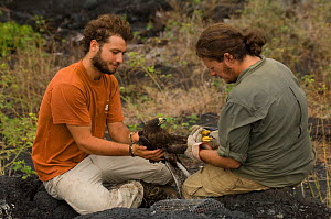 Scientists from the Charles Darwin Research Station record, ring and take biological samples from wild Galapagos Hawk (Buteo galapagoensis) Espanola Island, Galapagos Islands, Vulnerable species,endem...  -  Pete Oxford