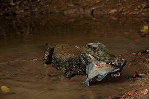 Smooth-fronted /Schneider's Dwarf Caiman (Paleosuchus trigonatus) feeding on large fish, Rewa River, Iwokrama reserve, Guyana  -  Pete Oxford