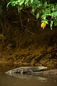 Smooth-fronted /Schneider's Dwarf Caiman (Paleosuchus trigonatus) on banks of Rewa River, Iwokrama reserve, Guyana  -  Pete Oxford